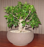 Port Jackson Fig by cre8ivbonsai