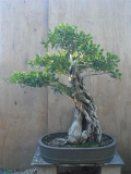 Ficus Eugenoides by Tony Bebb