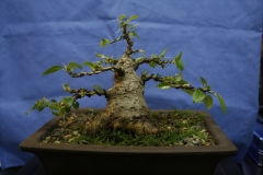 Port Jackson Fig by Strawbs