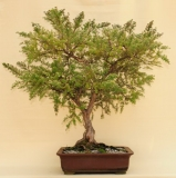 Woolly Teatree by Will IslandBonsai