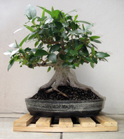 Chinese Elm Leaves Turning Yellow Ausbonsai