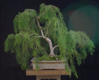 Huon Pine by Will IslandBonsai